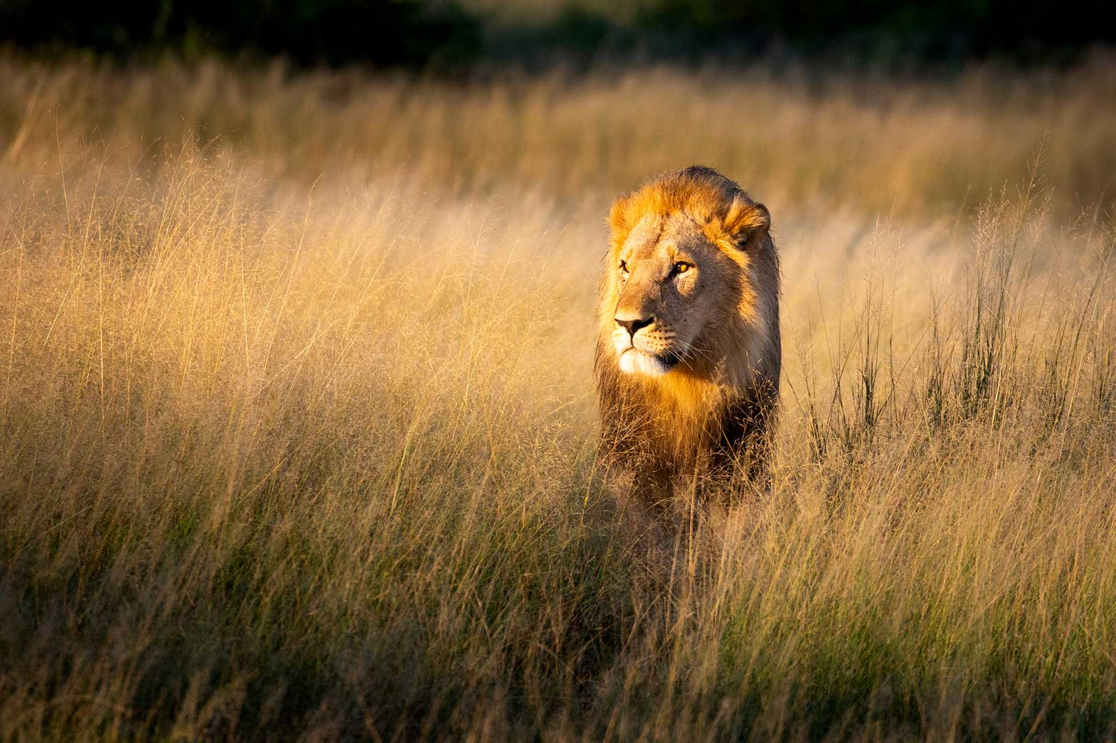 Marsh Pride of Lions in Savuti