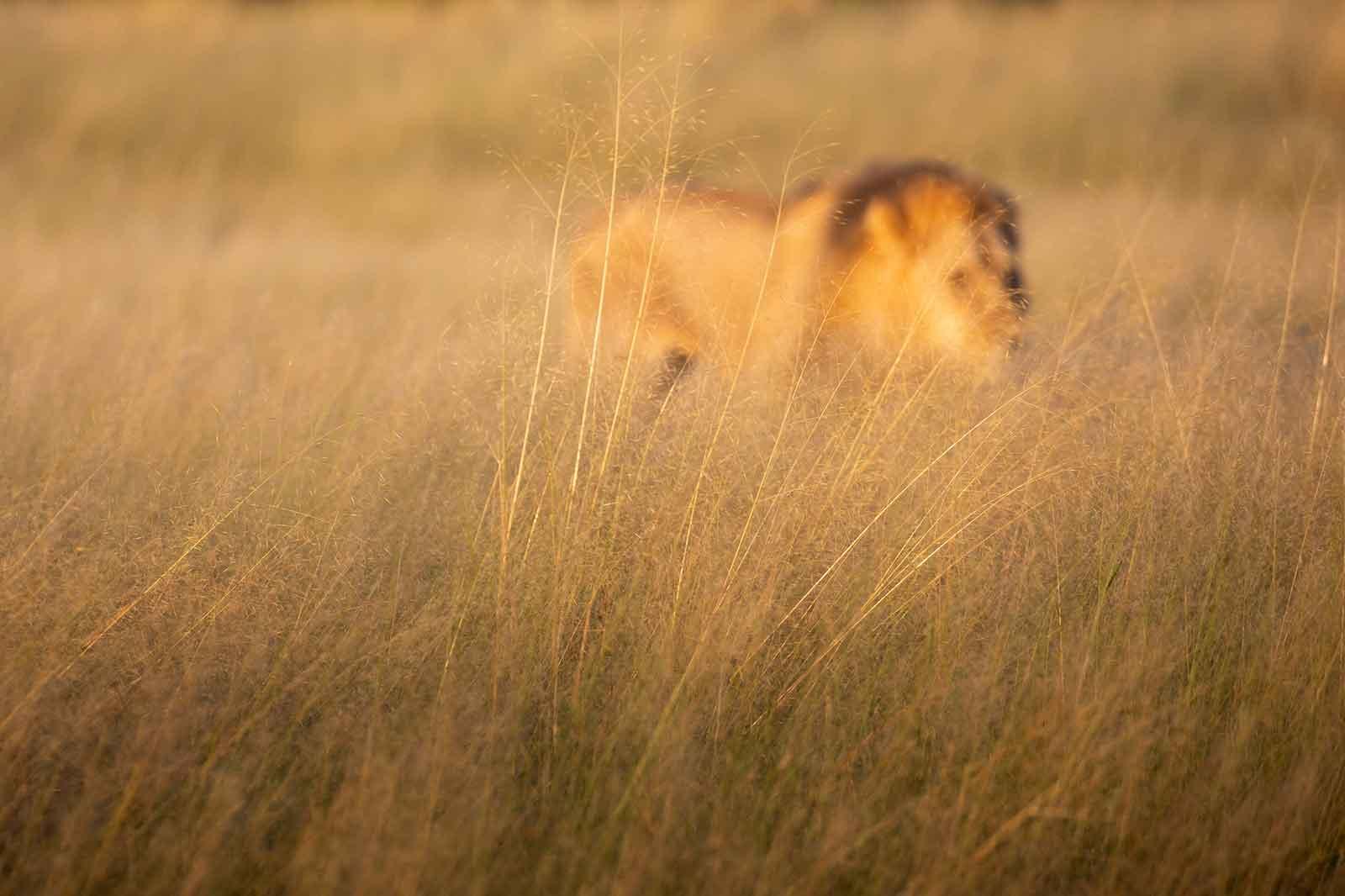 Lions of Savuti