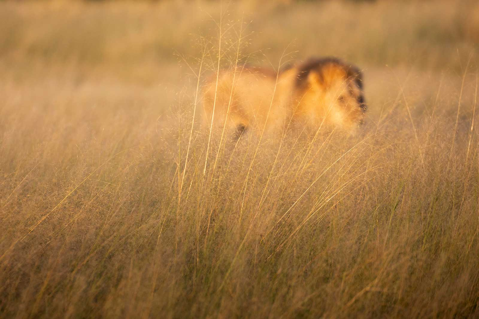 Lions at Camp Savuti