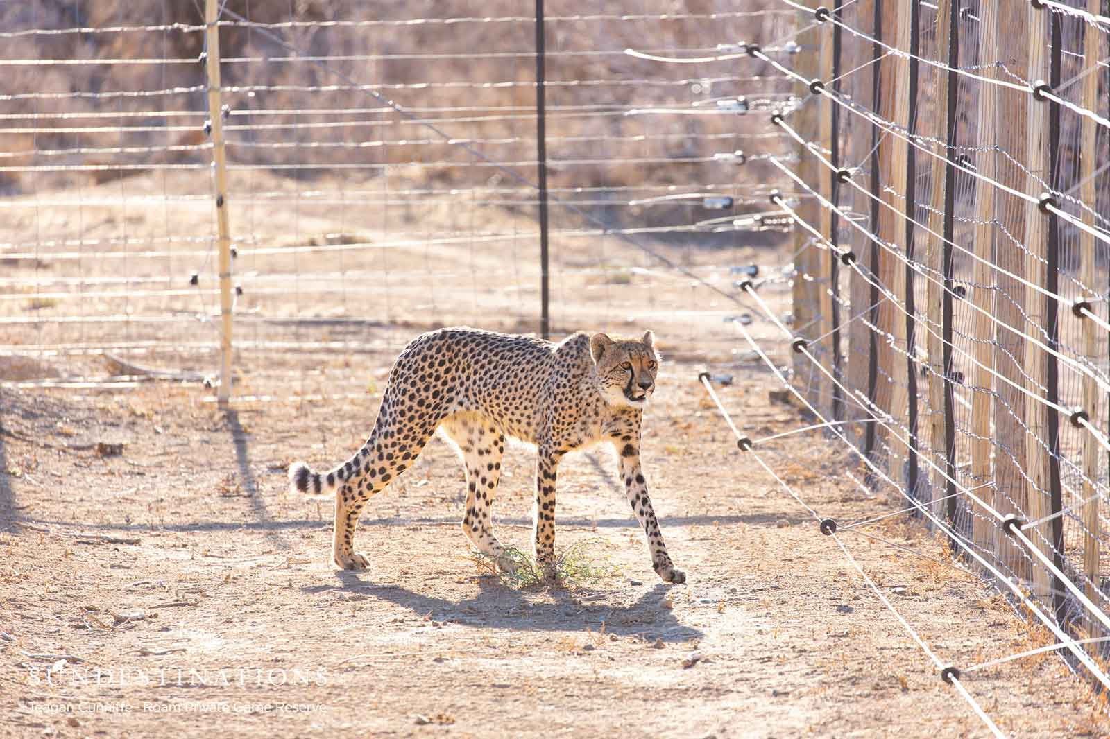 Roam Cheetah in Boma