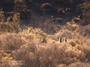 From meerkat observations to bush dinners, and fitting GPS collars on female cheetah; Roam is certainly making strides in terms of the safari experience and conservation initiatives. We've decided to furnish you with a few updates, both written and visual. The recent introduction of a female cheetah into Roam's expansive semi-desert landscape, proved to be […]