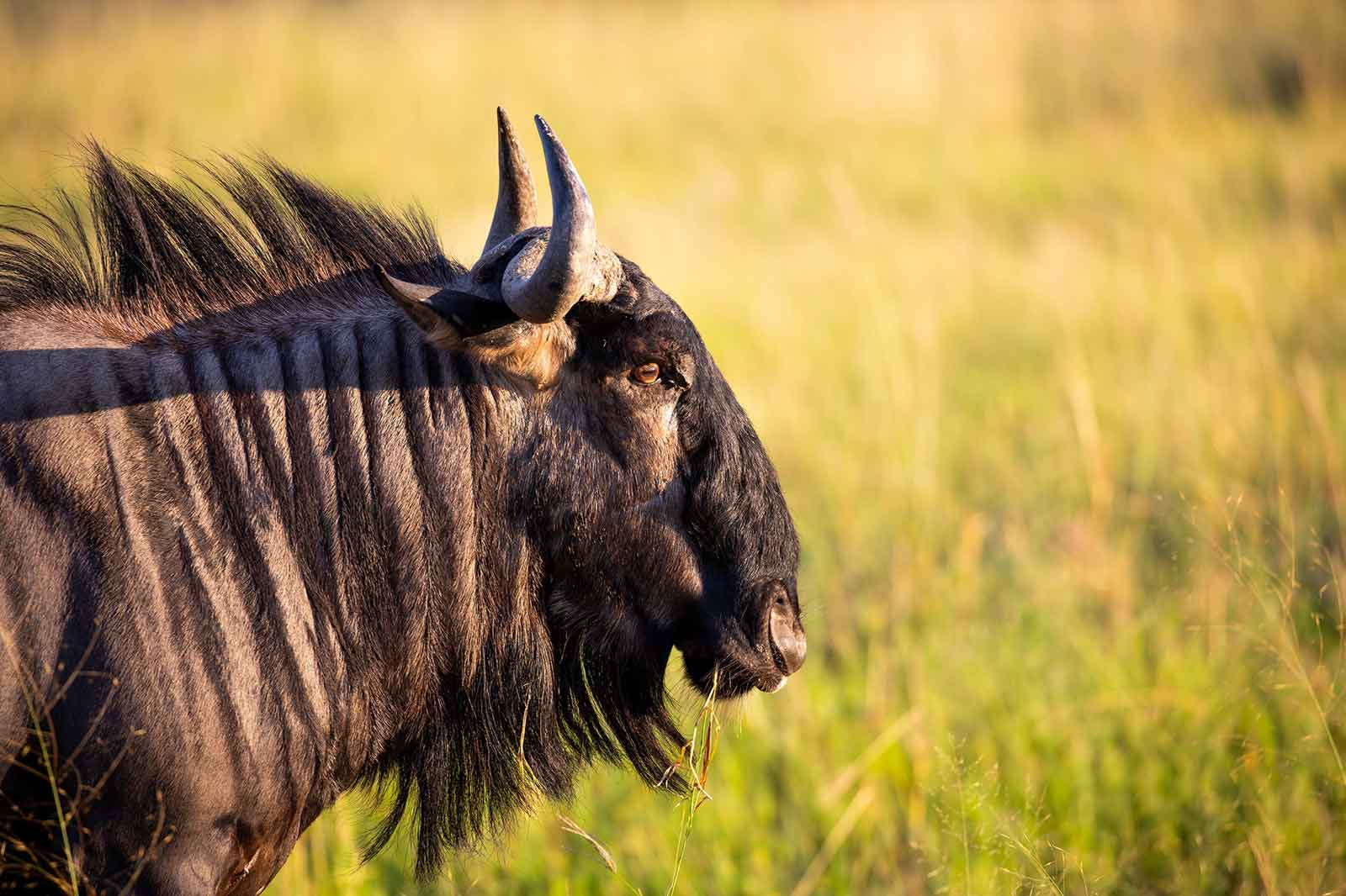 Wildebeest of Camp Savuti