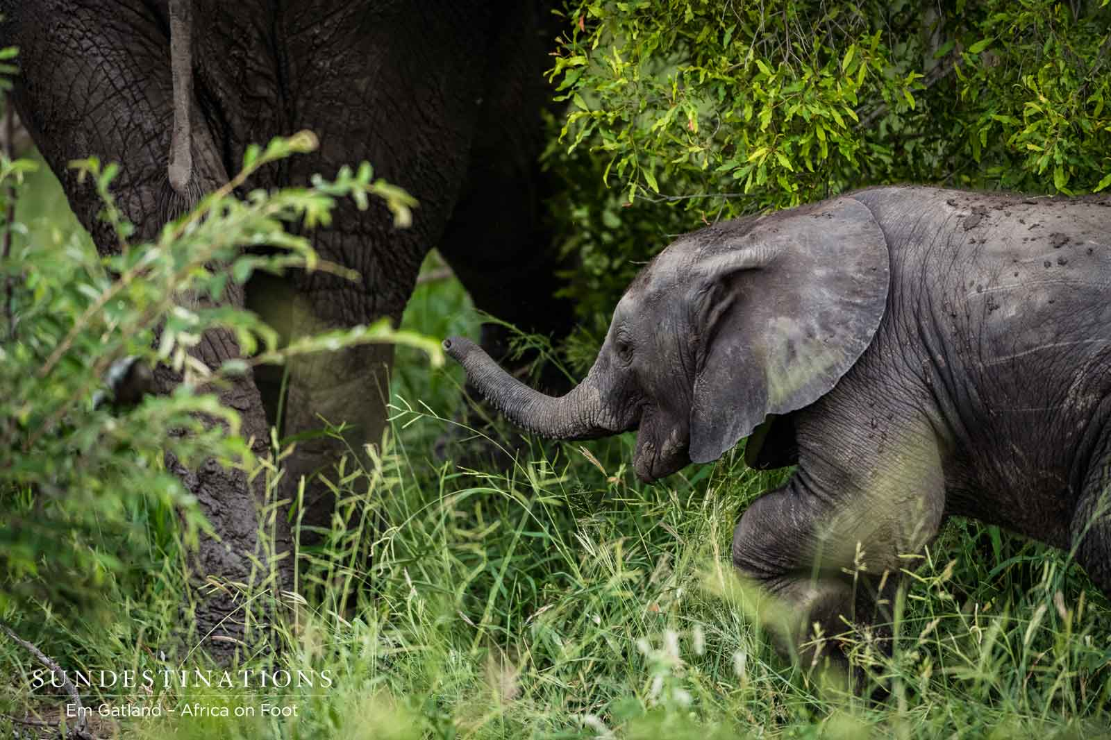 Elephant Calf at Africa on foot