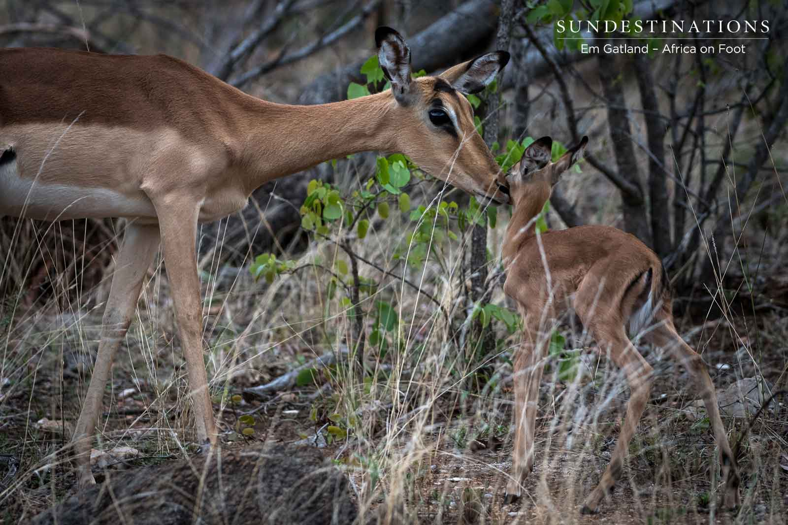Impala Motherly Love