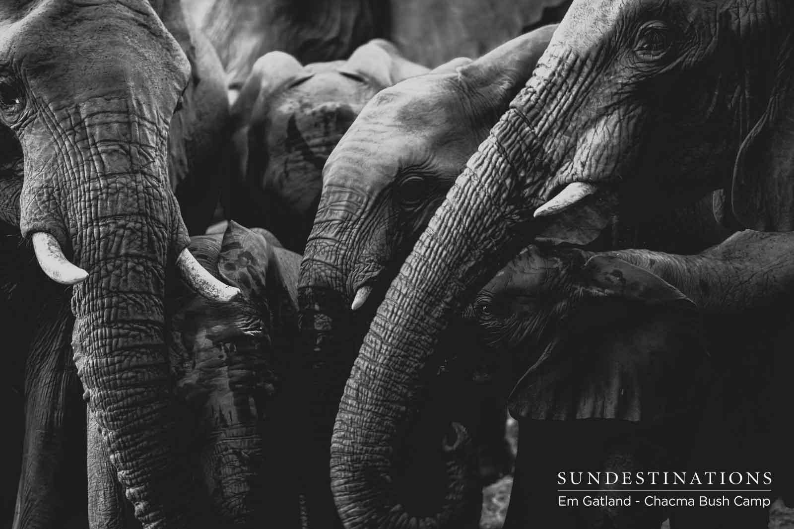 Chacma Elephant Herds