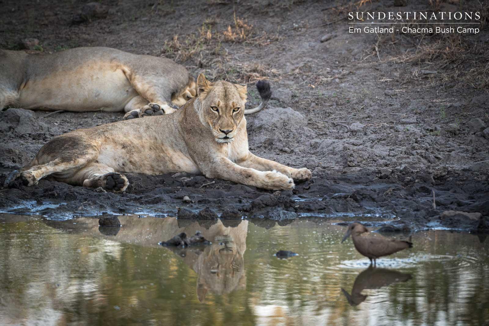 Lions at Chacma Bush Camp
