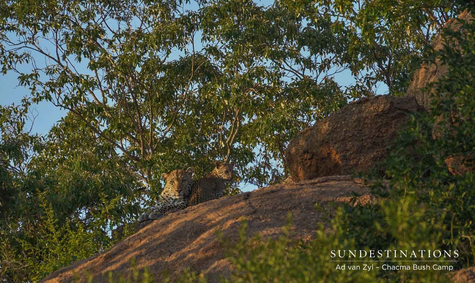 Leopard and Cub at Chacma Bush Camp