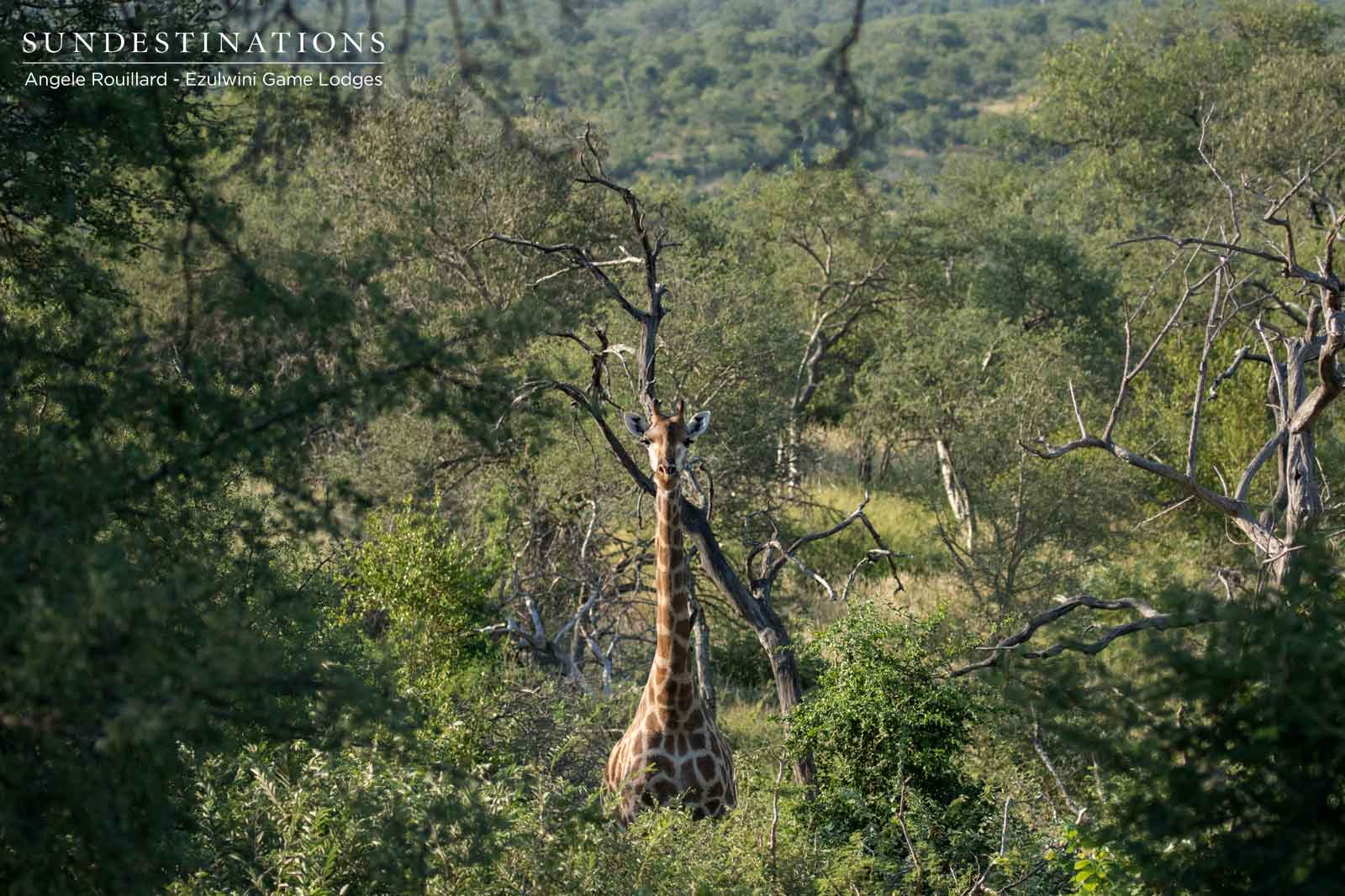 Ezulwini's Commonly Spotted Giraffe