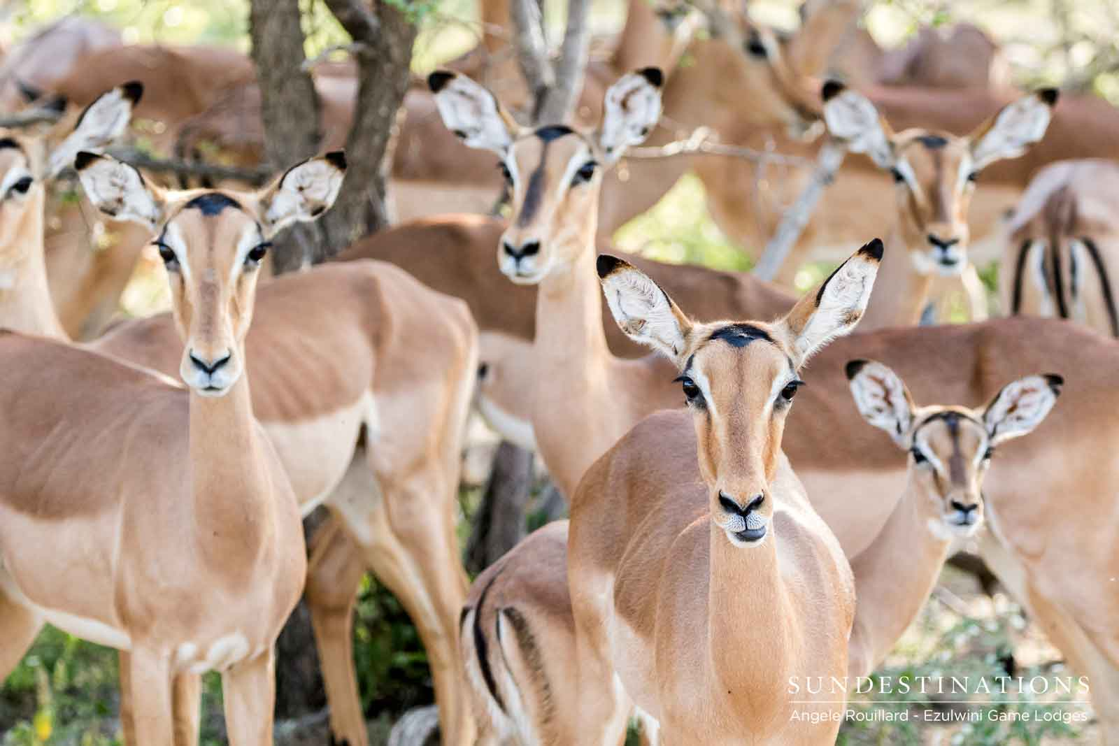 Impalas of Ezulwini Game Lodges