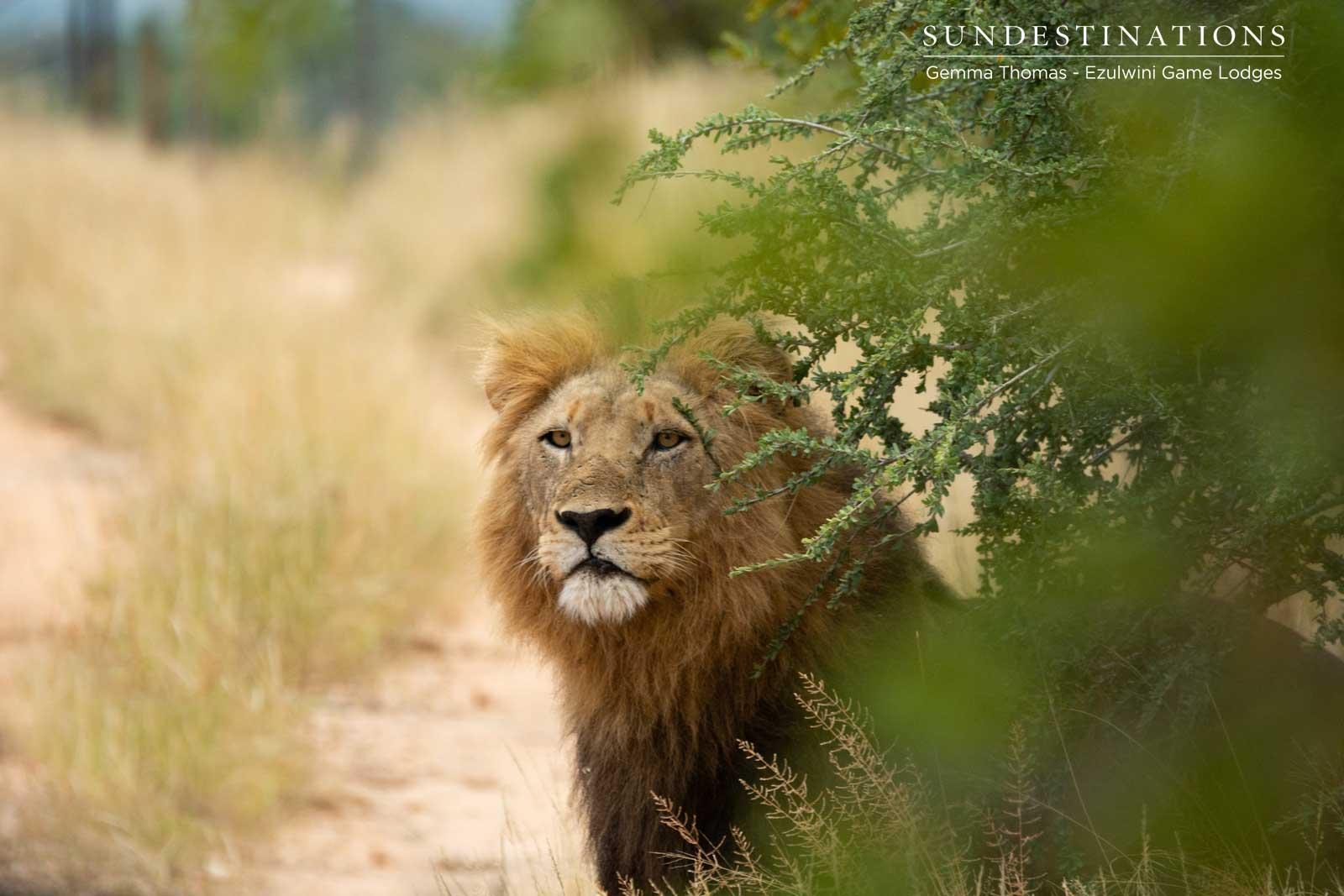The Machaton Male Lions