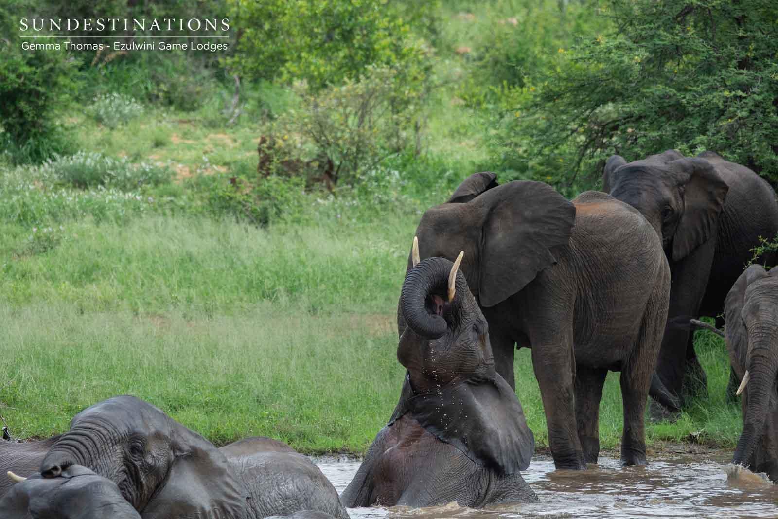 Ezulwini Elephant Herds