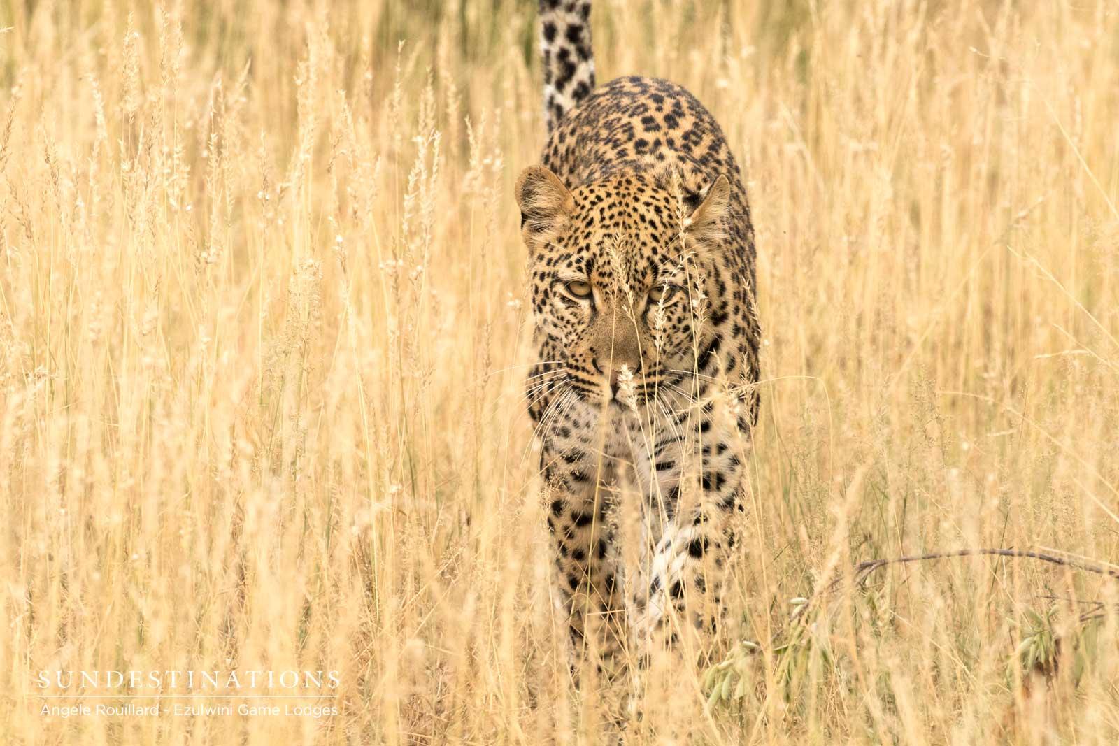 Thuli Leopard at Ezulwini Game Lodges