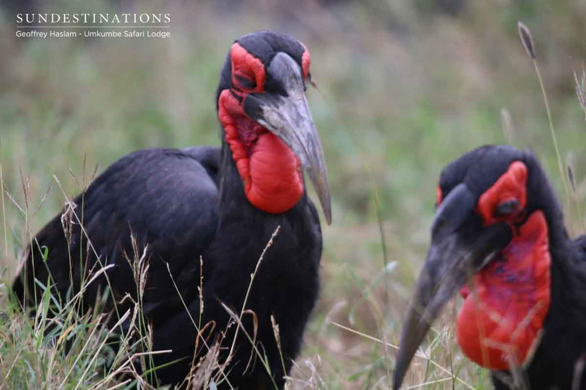 Southern Ground Hornbill in Umkumbe
