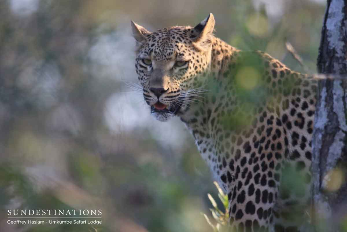 Ntsumi the Leopard