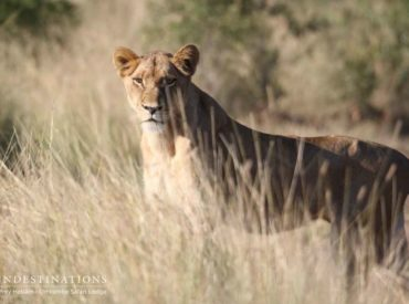 We've enjoyed a couple weeks of unique sightings and big cat behaviour across our Kruger camps. The central theme this week is – simply put – lions. There is a marked increase in lion sightings across the board, and guides within certain reserves are trying very hard to pinpoint the origins of splinter prides and […]