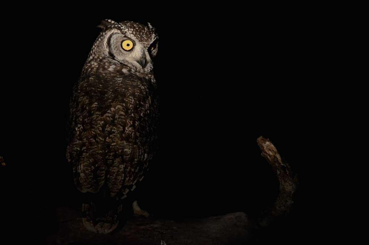 Spotted-owl Umkumbe