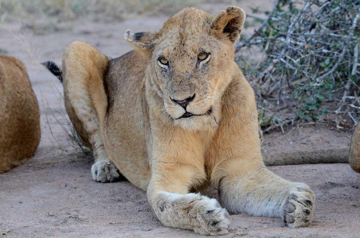 Styx Lioness