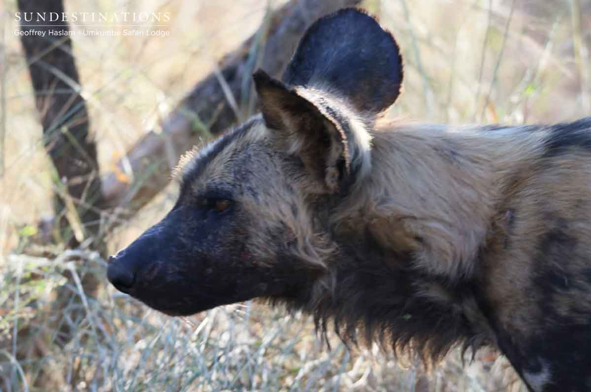 Wild Dogs on Umkumbe Traverse