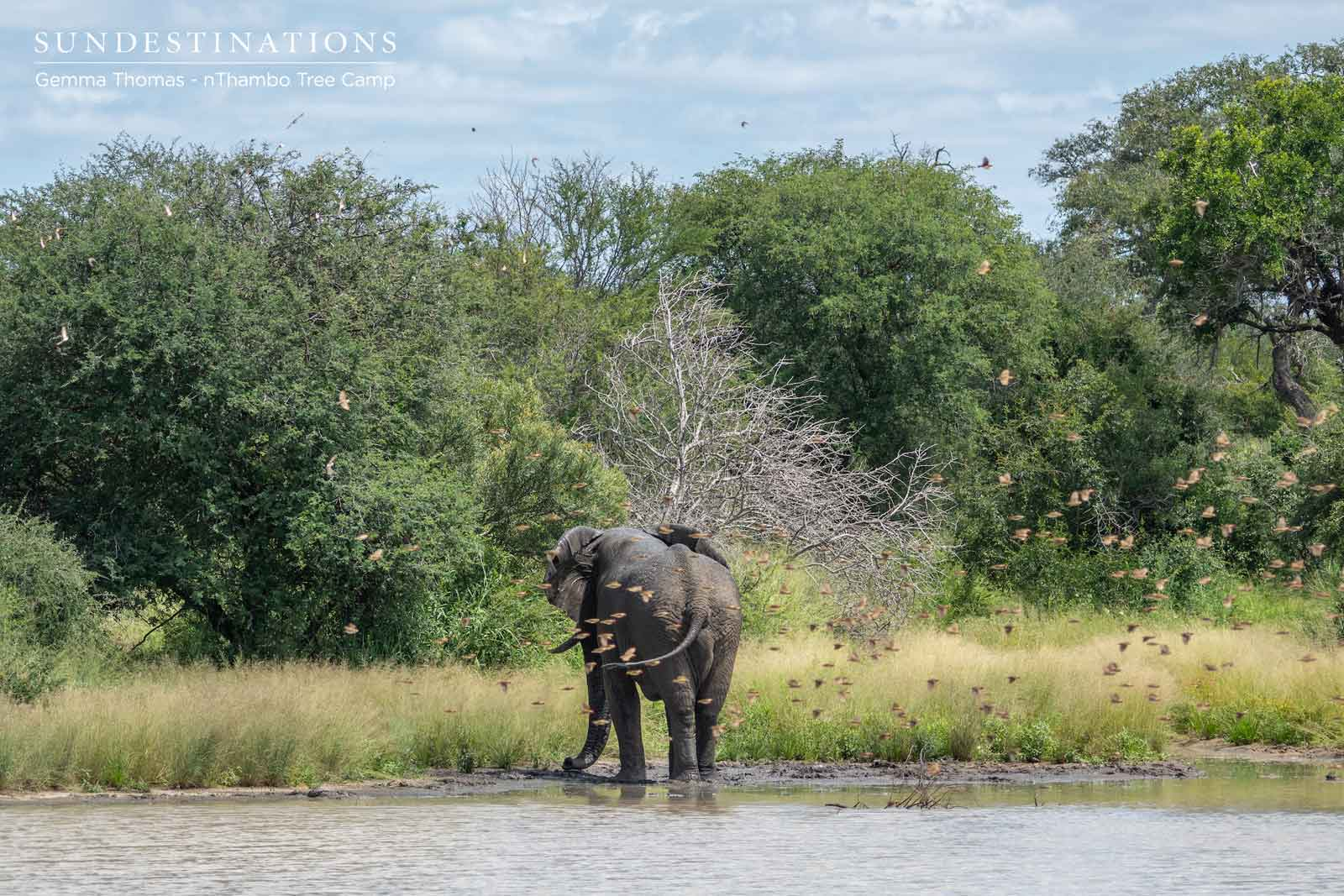 nThambo Elephants in Klaserie
