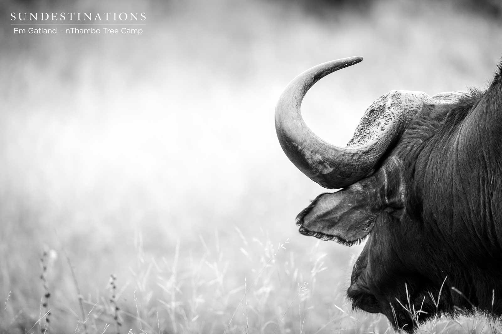 Buffalo at nThambo
