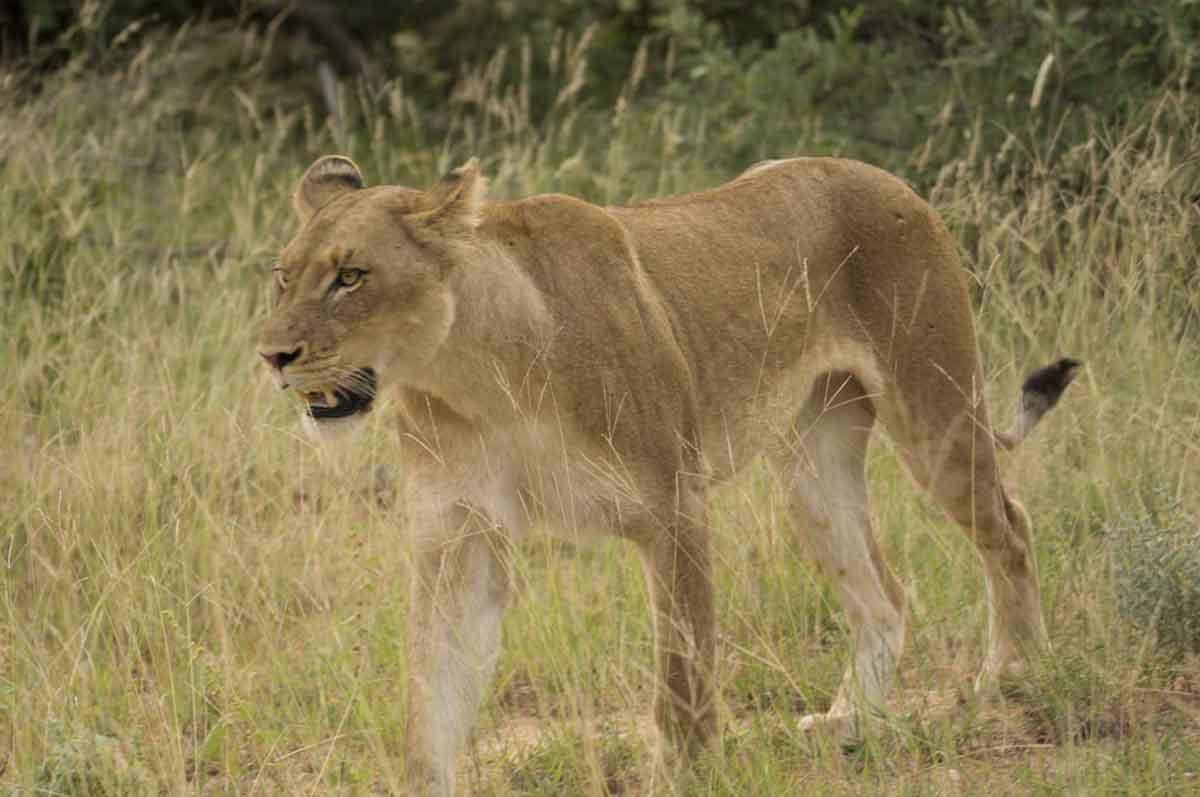 Kudyela Lioness Guest Review