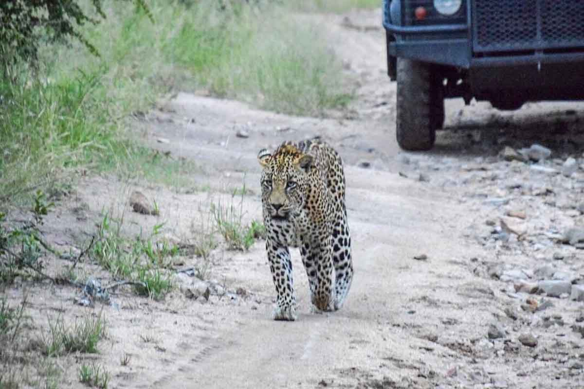 Leopards in the Sabi Sand