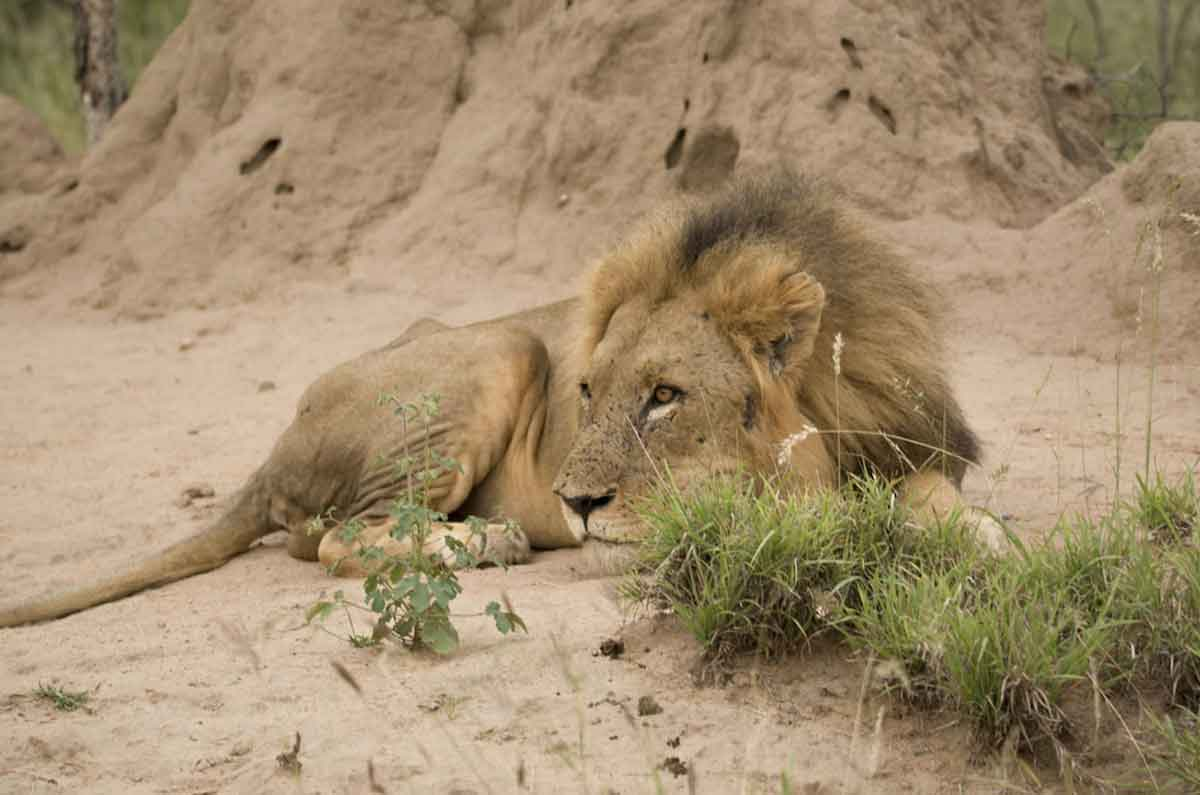 #GuestSafariReview Mike and Fiona Find Lions at Ezulwini Game Lodges