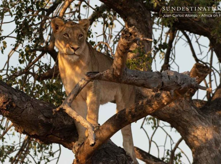 Guide JC Spots a Tree-climbing Lion in the Klaserie. That's Right.