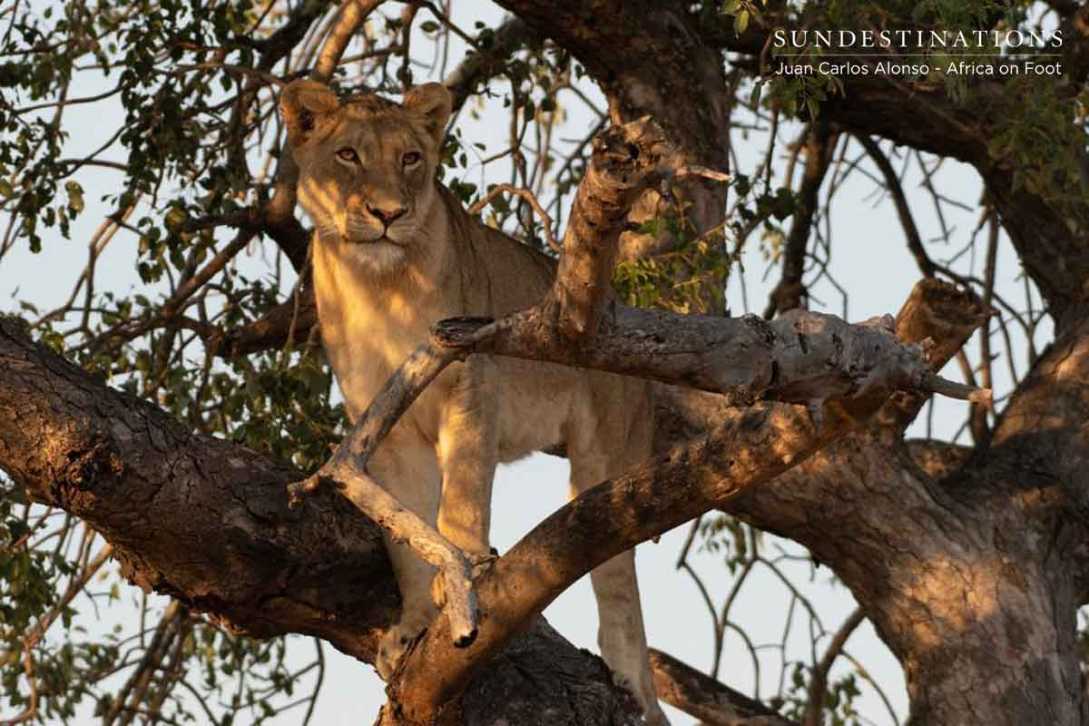 Tree-Climbing Lions Greater Kruger