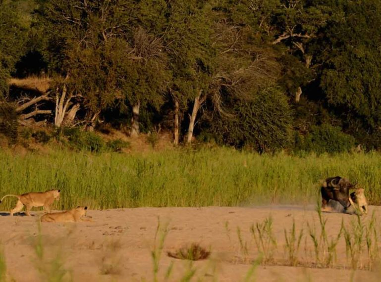 Lion Pride with Cubs Chase Buffalo in Front of Lodge