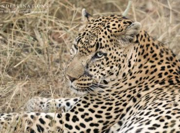 If you have a case of Friday fever, then we suggest you make use of your time and scroll through our recent sprinkling of wildlife images fresh from the undergrowth of the Kruger. There's plenty happening out there, and – across the board – guests have been rewarded with sightings of lion cubs, wild dogs […]