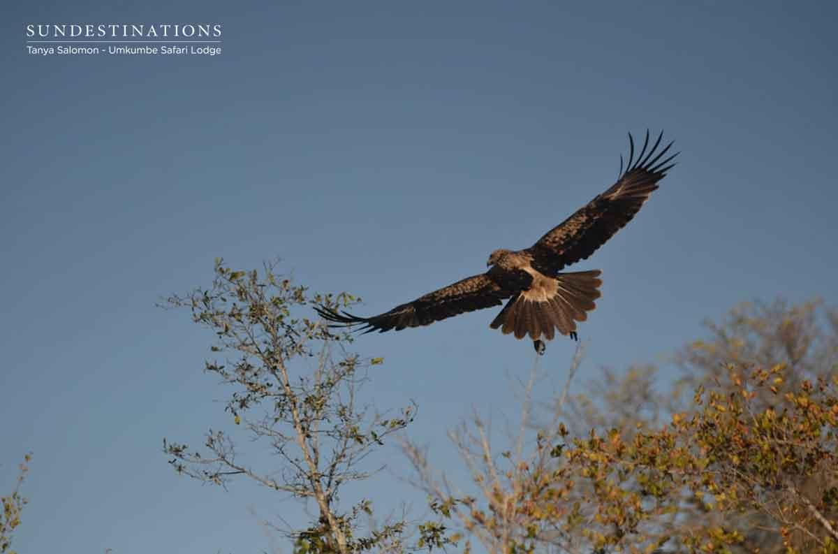 Umkumbe Tawny Eagle