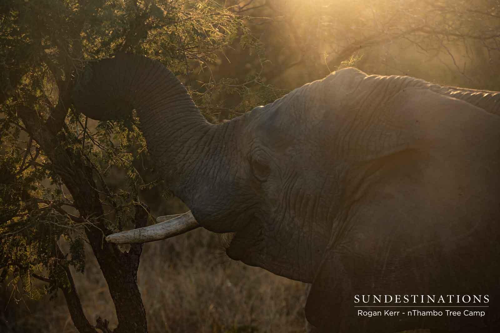 nThambo Elephants