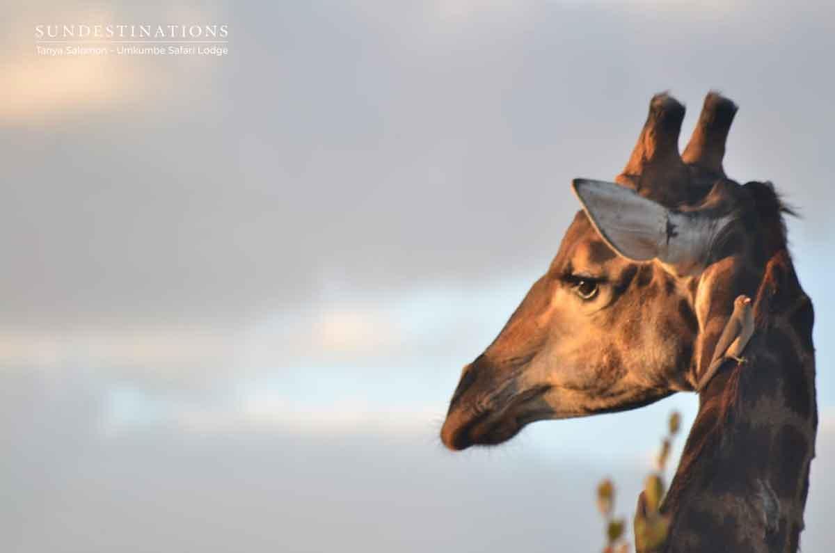 Umkumbe giraffe