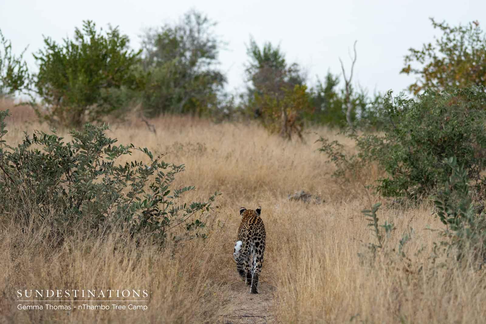 nThambo Leopard - Nyeleti
