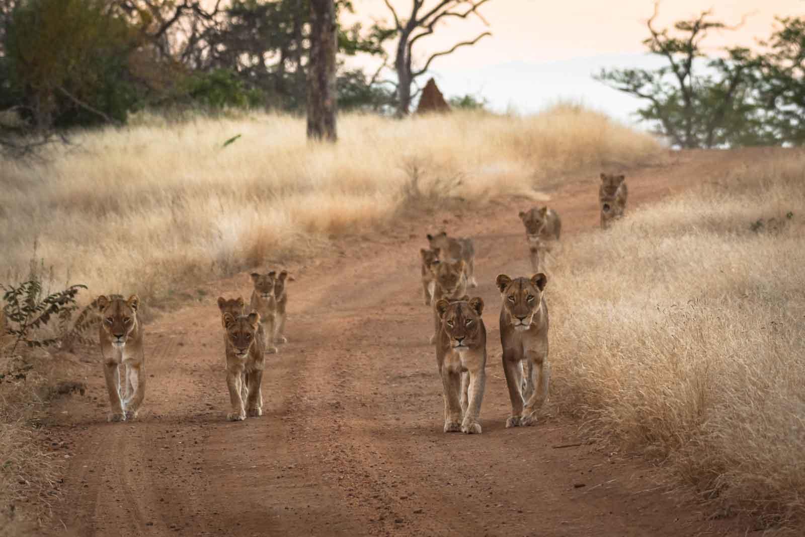 Maseke Pride of Lions