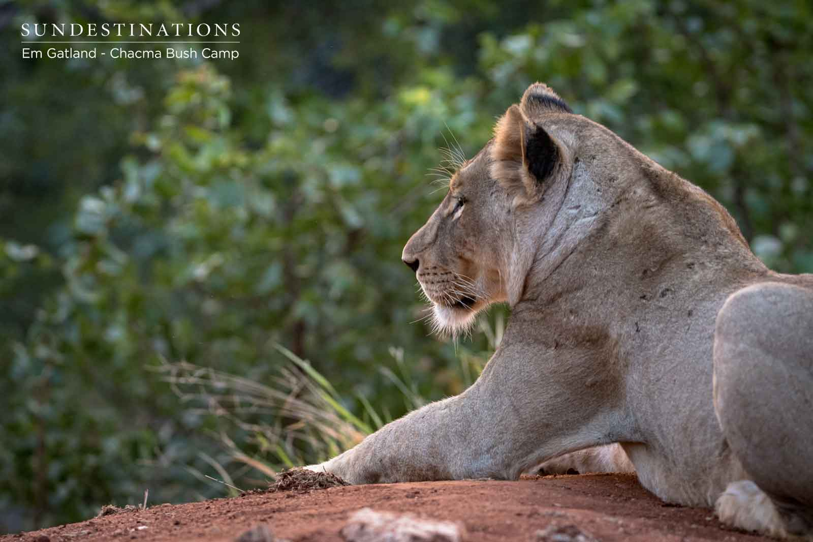Lioness at Chacma