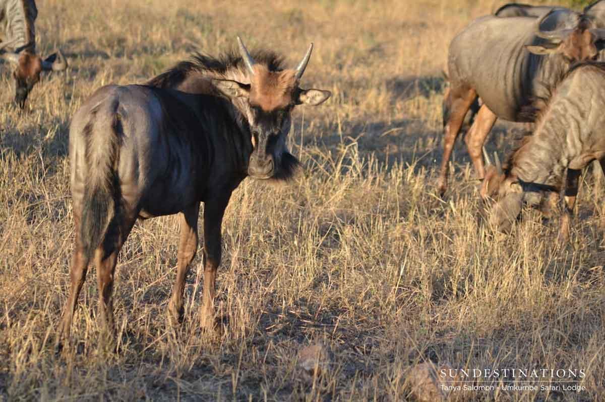 Umkumbe Wildebeest