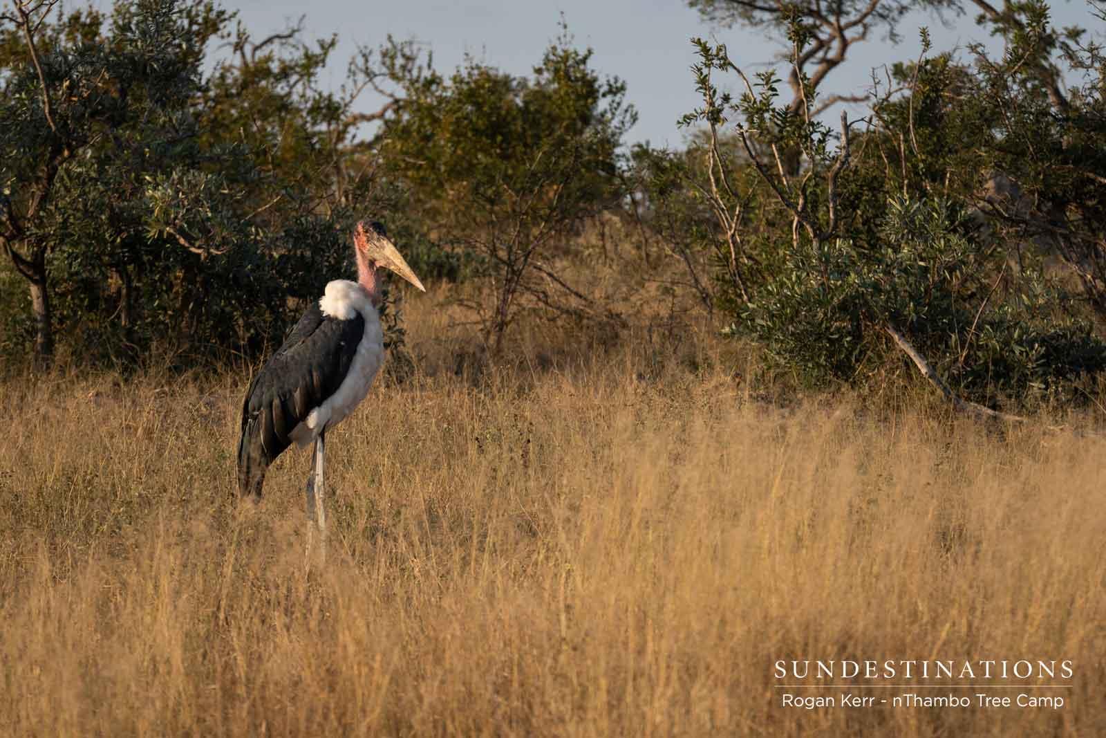 Marabou Stork in Klaserie