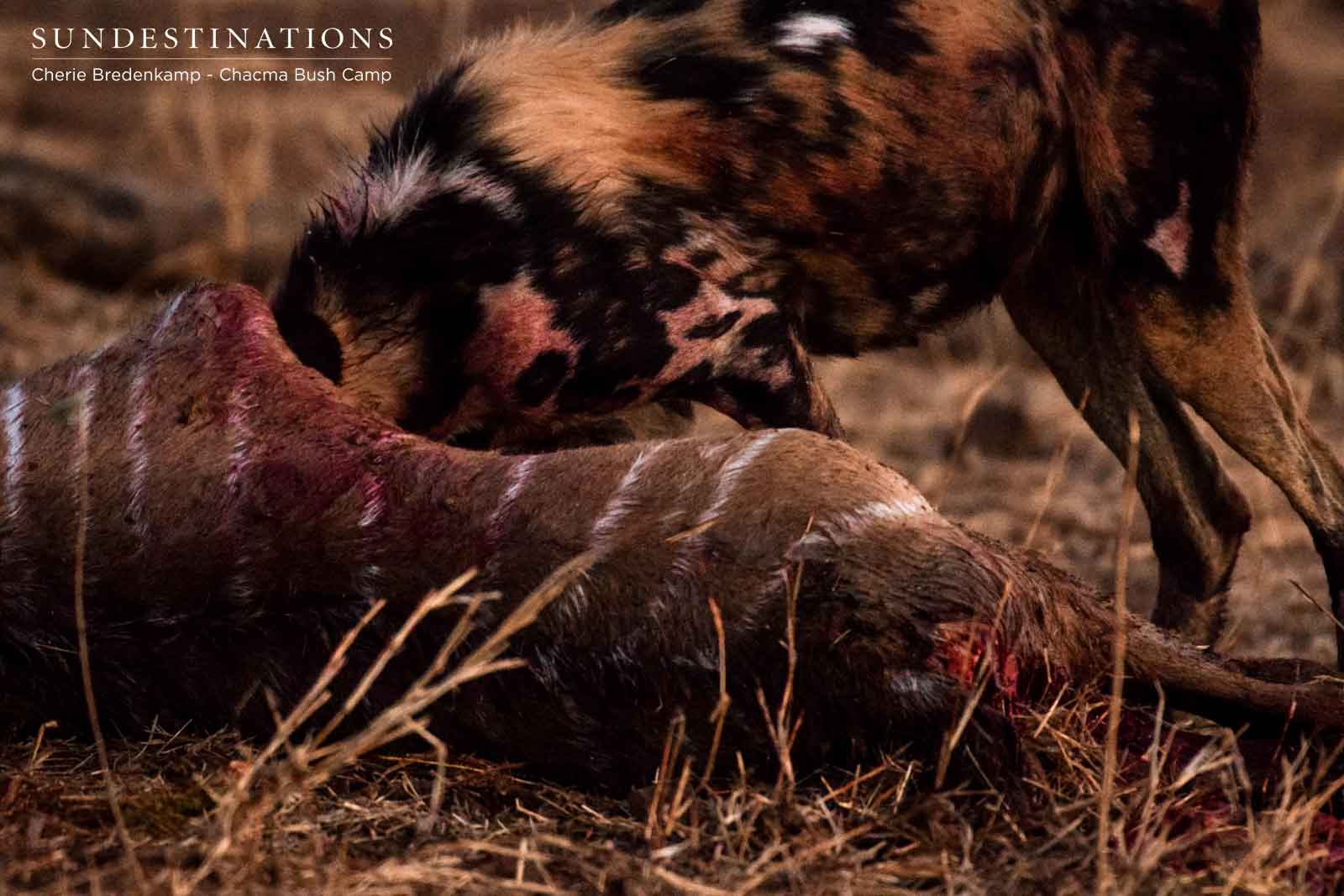 Wild Dog Kill at Chacma