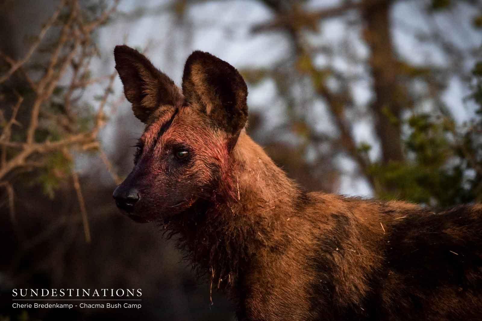 Wild Dog Pack in Maseke