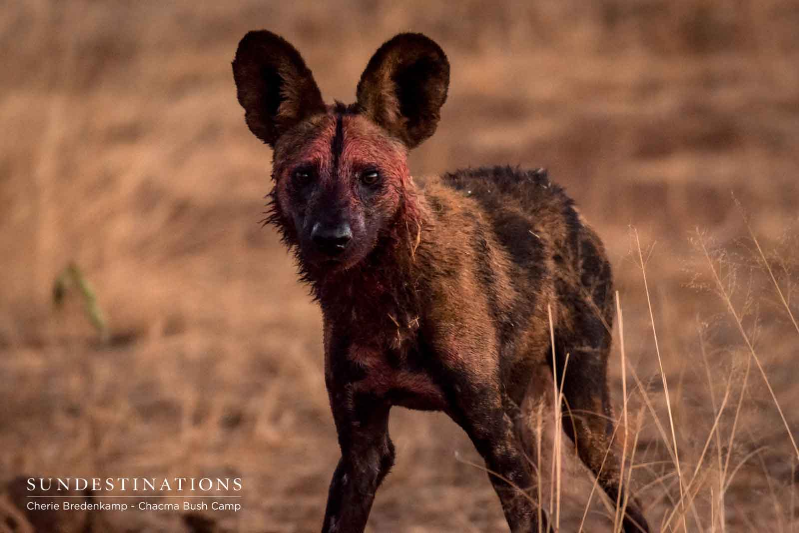 Wild Dog at Chacma Swims to Catch Prey