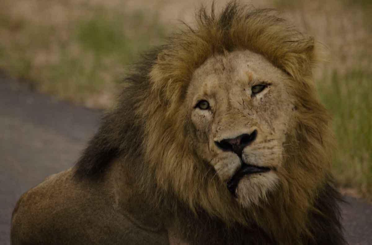 nThambo Male Lions