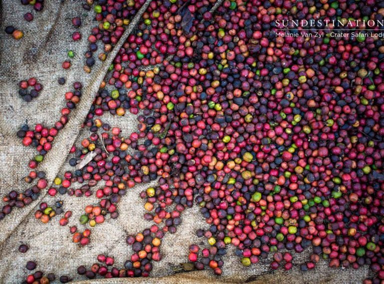 Learning the craft of coffee in Uganda's scenic Crater Lake district