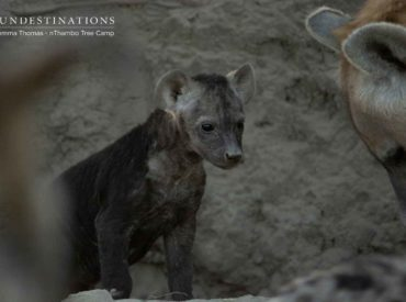 About a week ago we released the first 3 videos (Chapter 1) of the discovery of Margaret's Khaya, a hyena den on the Klaserie traverse. Before we discuss the next 3 videos (Chapter 2) it's vital that we furnish you with a quick recap. Chapter 1 discussed the discovery of a buzzing hyena den deep […]