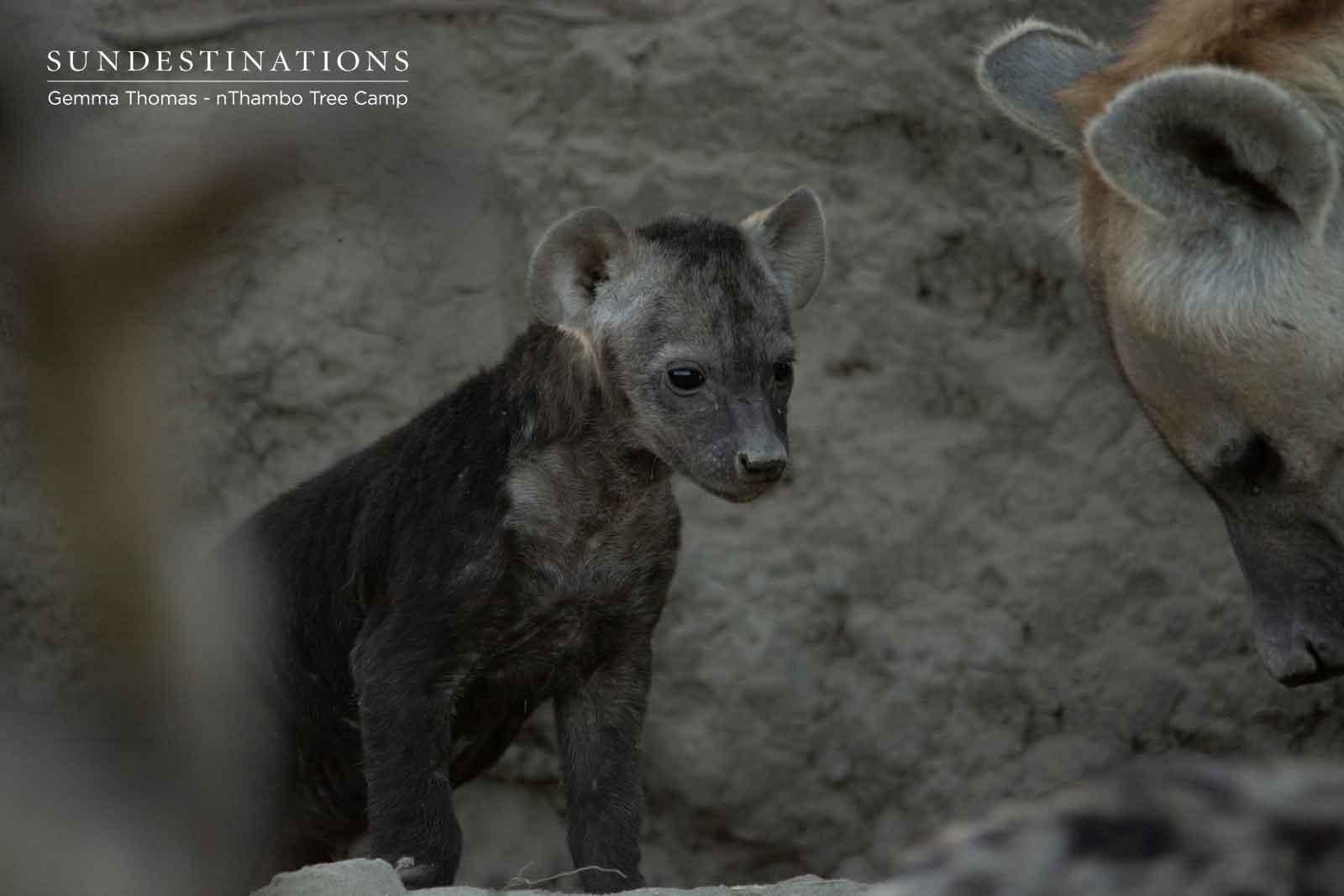 Hyena Cub in Klaserie