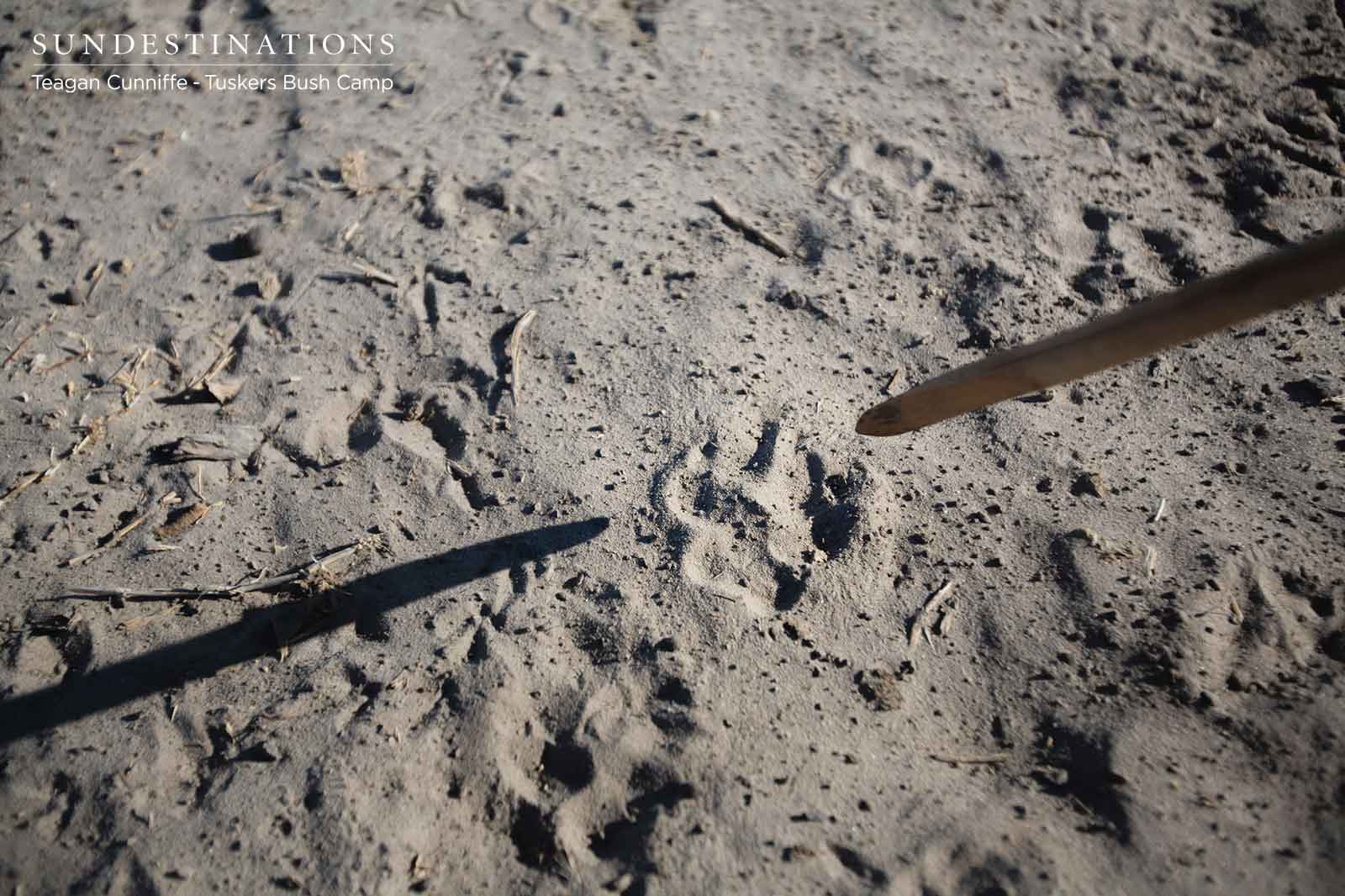 Tracking Wildlife at Tuskers Bush Camp