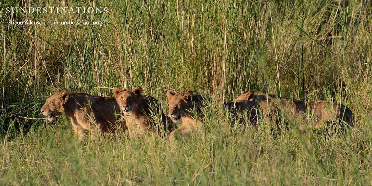 Kambula Lion Pride