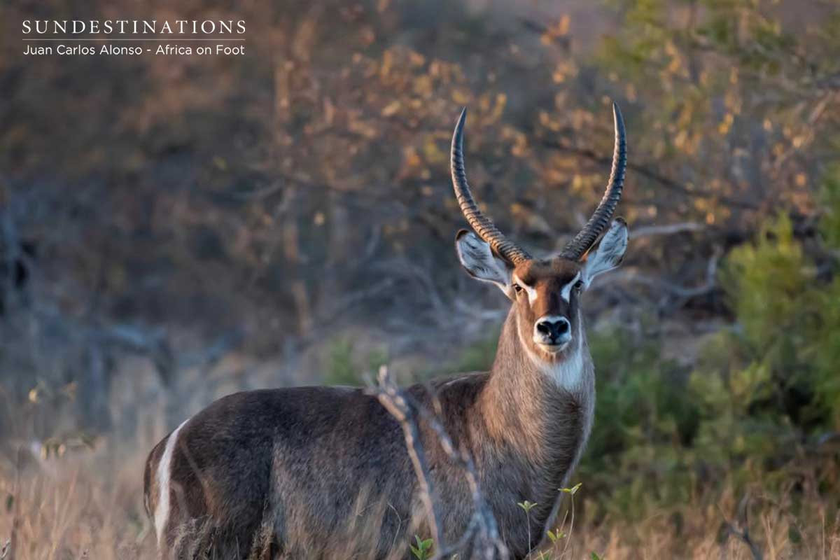 Waterbuck at Africa on Foot