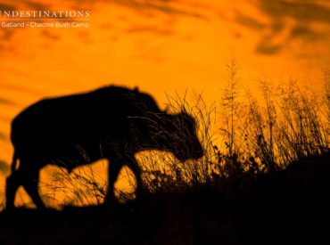 The thing about winter in the Kruger is that it really is prime game viewing time. The sparse bushveld makes it easy to spot game and the lack of rains means that wildlife congregates at waterholes. We know (generally) where to find game – and the bushveld is far easier to scan for signs of […]